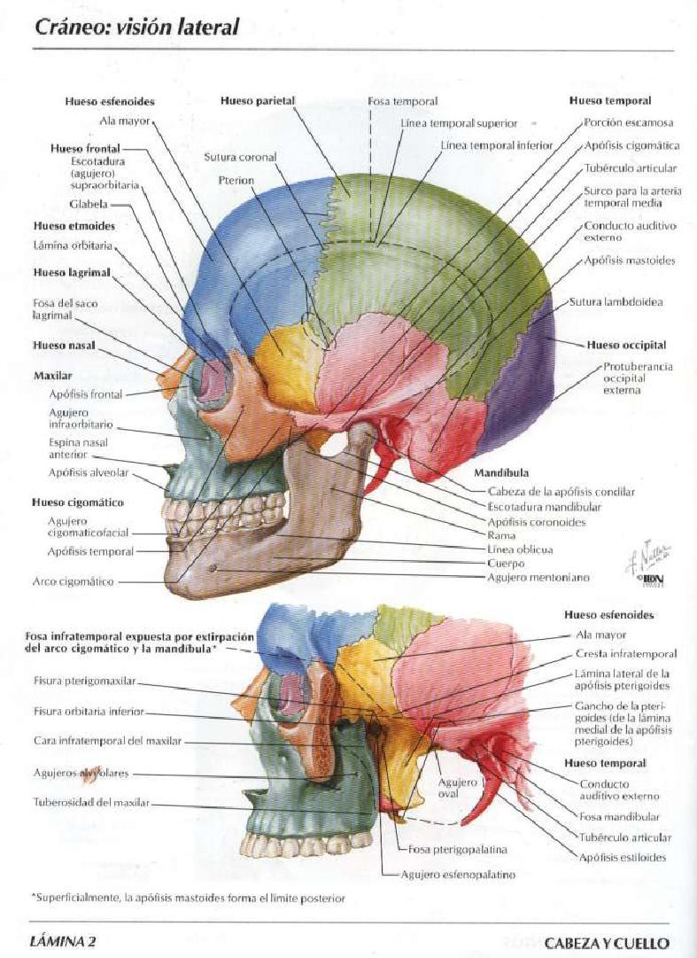 Huesos del craneo car interior design for Interior del cuerpo humano
