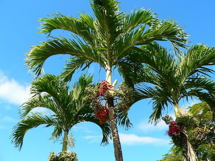 fructe palmier