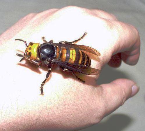 varroa mite bees