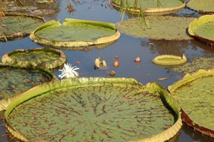 victoria 3+ Wonders of Kenilworth Aquatic Gardens