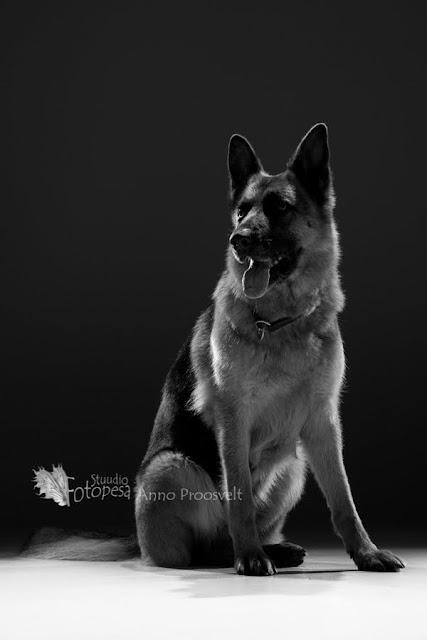 mustvalge foto- saksa lambakoer