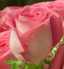 Rosa orvalhada