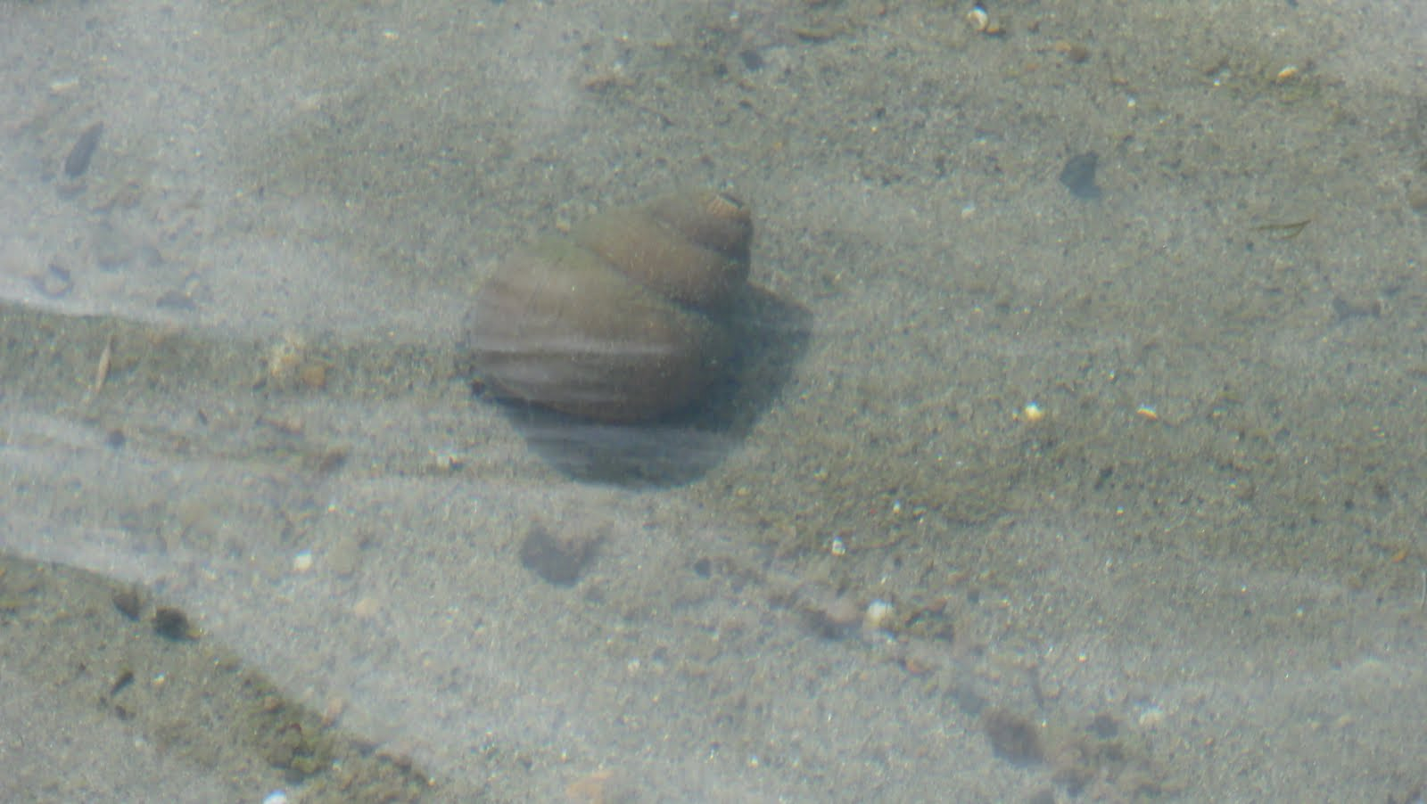 Image shows a large tan snail shell underwater.