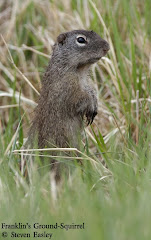 Franklin's Ground-Squirrel