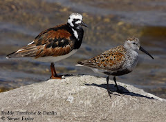 Ruddy Turnstone with Dunlin