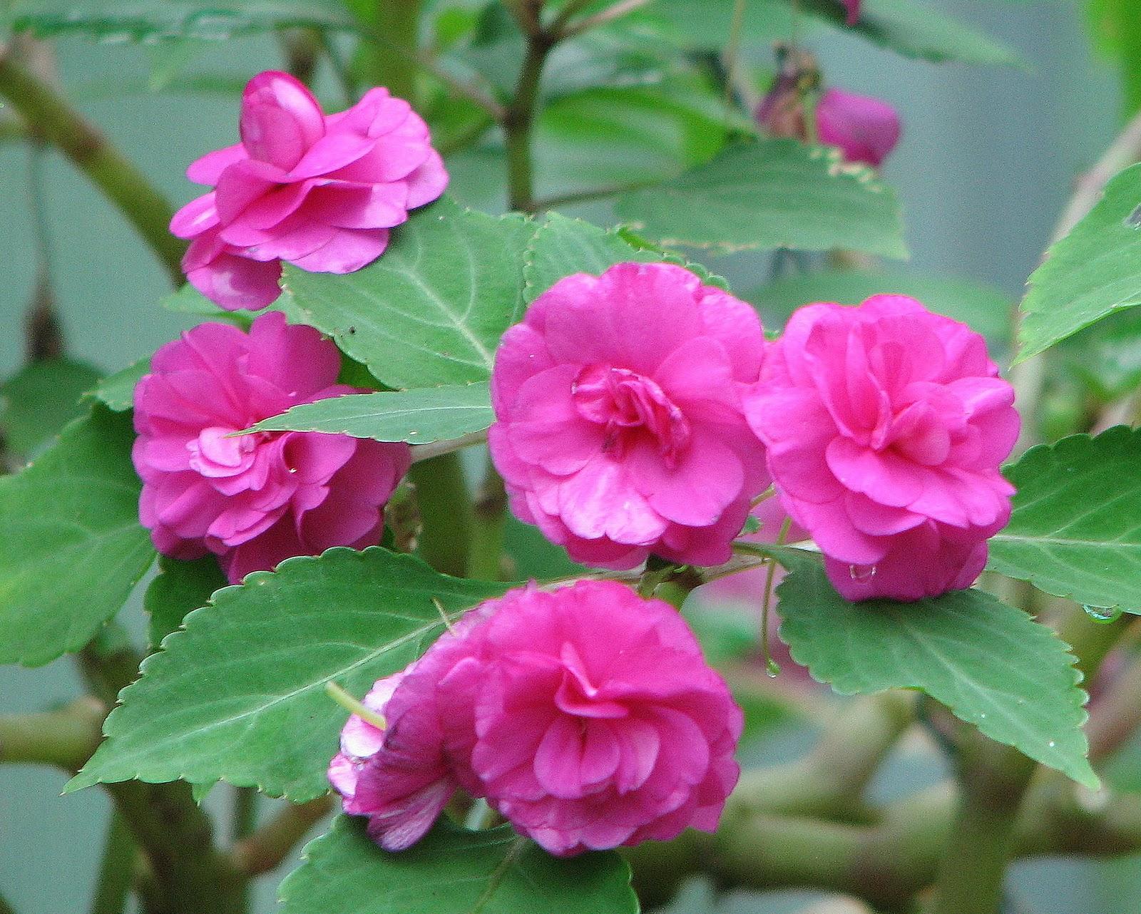 Bush Bernie s Blog Flower Flaunt on Friday Bonny Balsam
