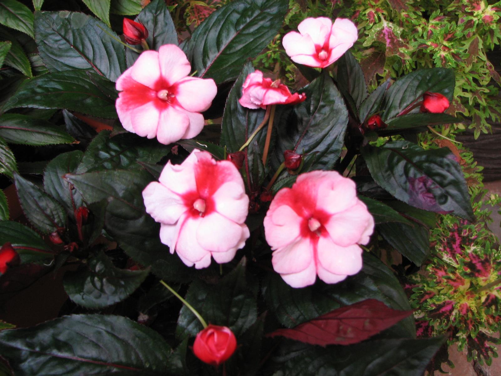 My Dry Tropics Garden Impatiens hawkeri New Guinea Impatiens
