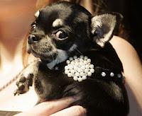 Cão exibe joia de bolinhas brancas