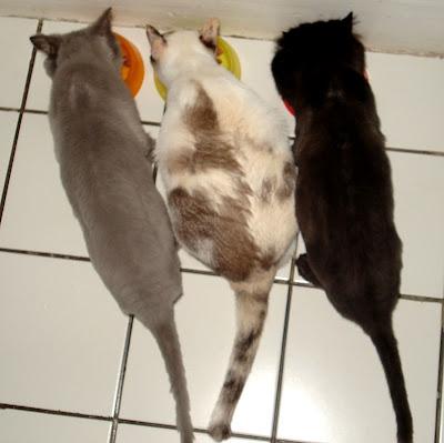 Gatos Feliciano, Lili e Dóris, comendo juntos a ração