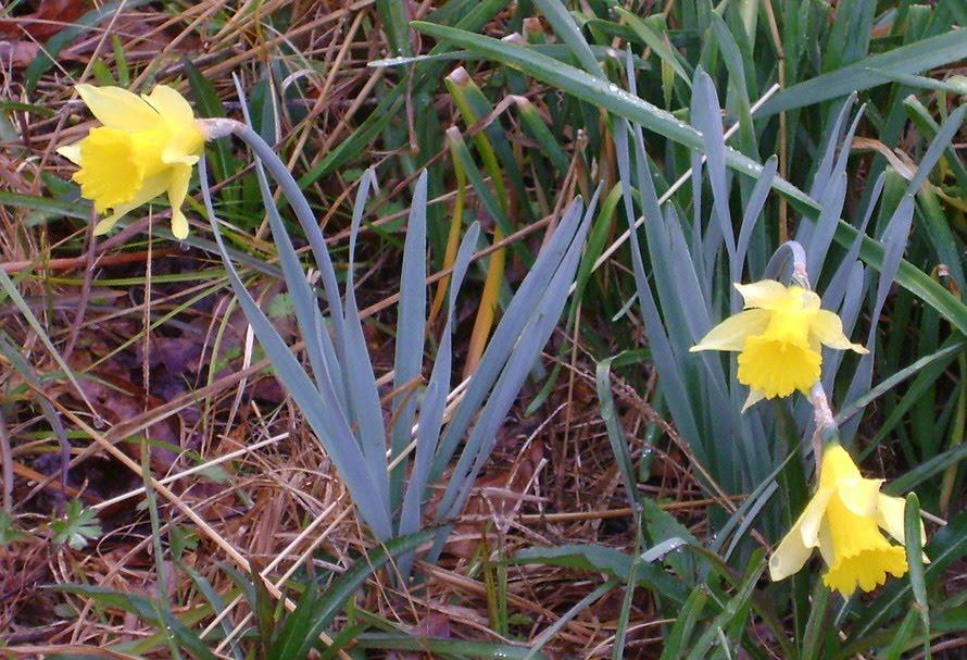 [rsz_1first_daffodils2010.jpg]