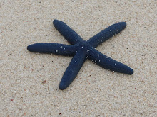 White Island starfish