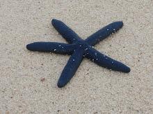 White Island starfish