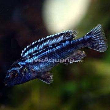 blue johanni cichlid melanochromis cyaneorhabdos quick stats minimum ...