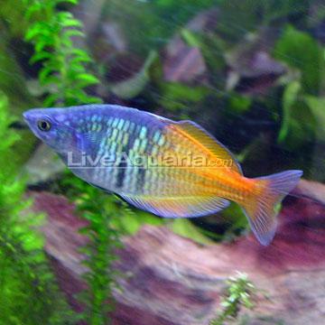 Boesemani Rainbow Freshwater Fishs