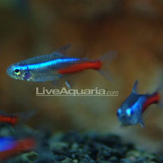 Neon Tetra Jumbo Freshwater Fishs #2: p Neon Jumbo
