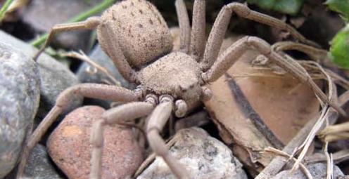 Las 5 arañas mas venenosas del planeta Arana51