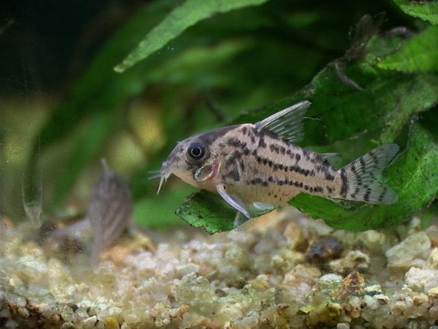 Aqu rio virtual bagres blindados for Nettoyeur aquarium poisson