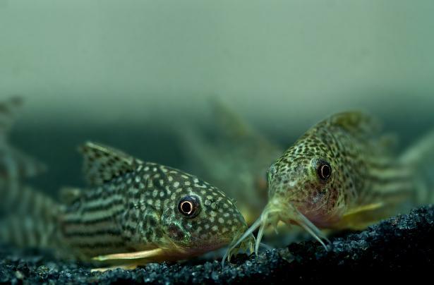 Aquario Virtual: Bagres-blindados