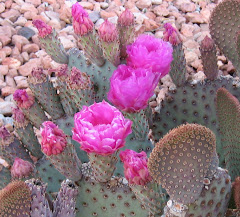 Arizona Desert Blooms