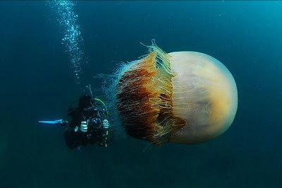 Jutaan Ubur-ubur Raksasa 200 KG an Menyerang Jepang