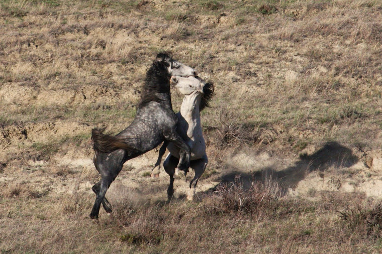 Four Stallion Fight