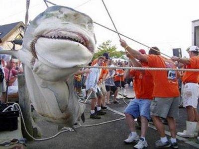PERMATA SCHOOL: Foto Ikan Hiu Terbesar Di Dunia