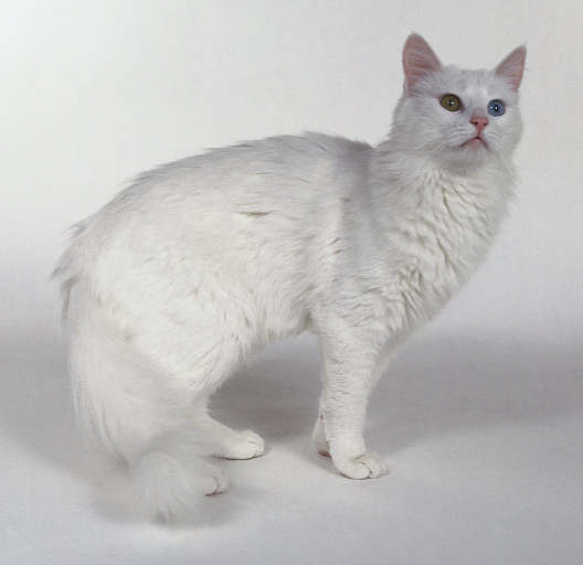 wallpaper kucing comel. Gambar+kucing+parsi+comel