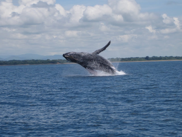 Whale watching in Panama