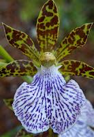 Orhideea Zygopetalum