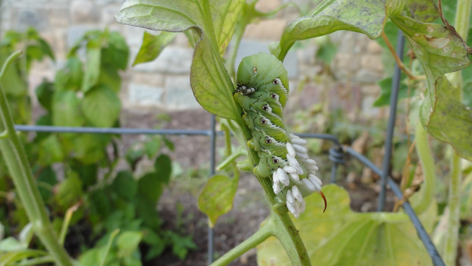 Life at the Blue Rock Ranch: Tomato Hornworm