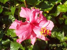 Bunga Raya Pink..