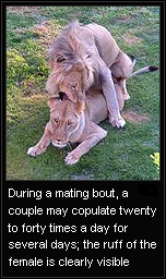 lion breeding