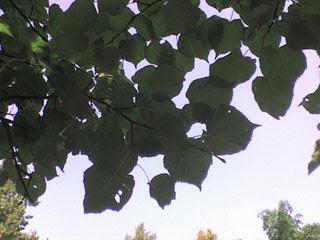 Листья и небо