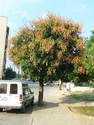 A Tree in Yambol