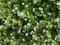 Chickweed for Chickens and Humans