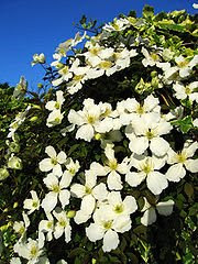 Clematis Beautiful with Major Health Benefits