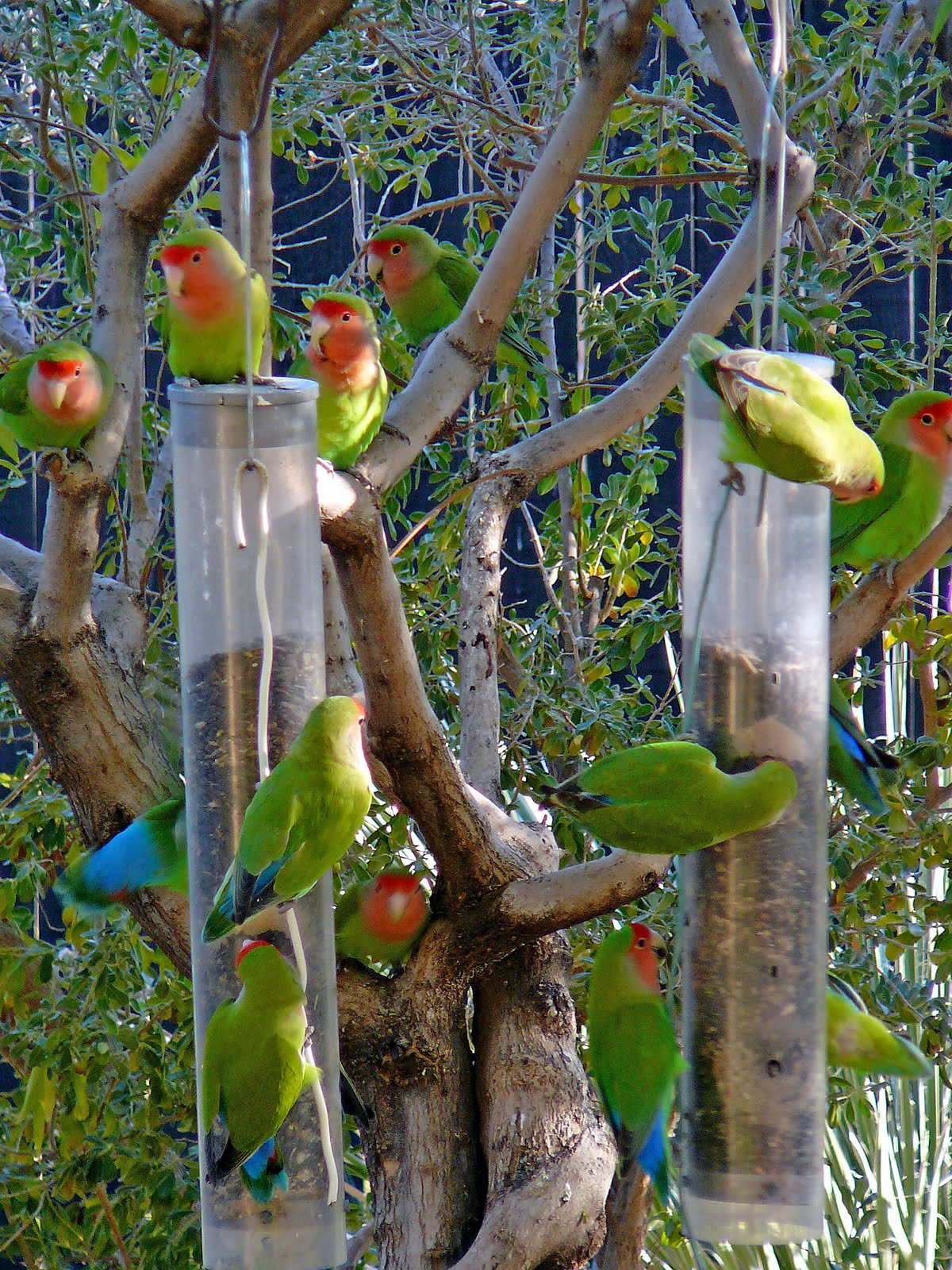 love quimper parrots in arizona by cer lle
