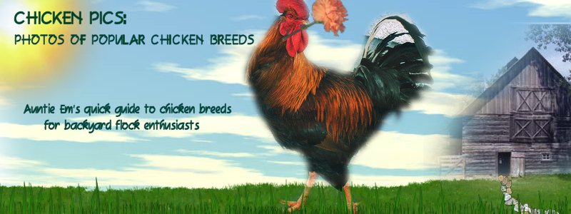 Chicken Pics: Photos of Popular Chicken Breeds (and all things Chicken!)