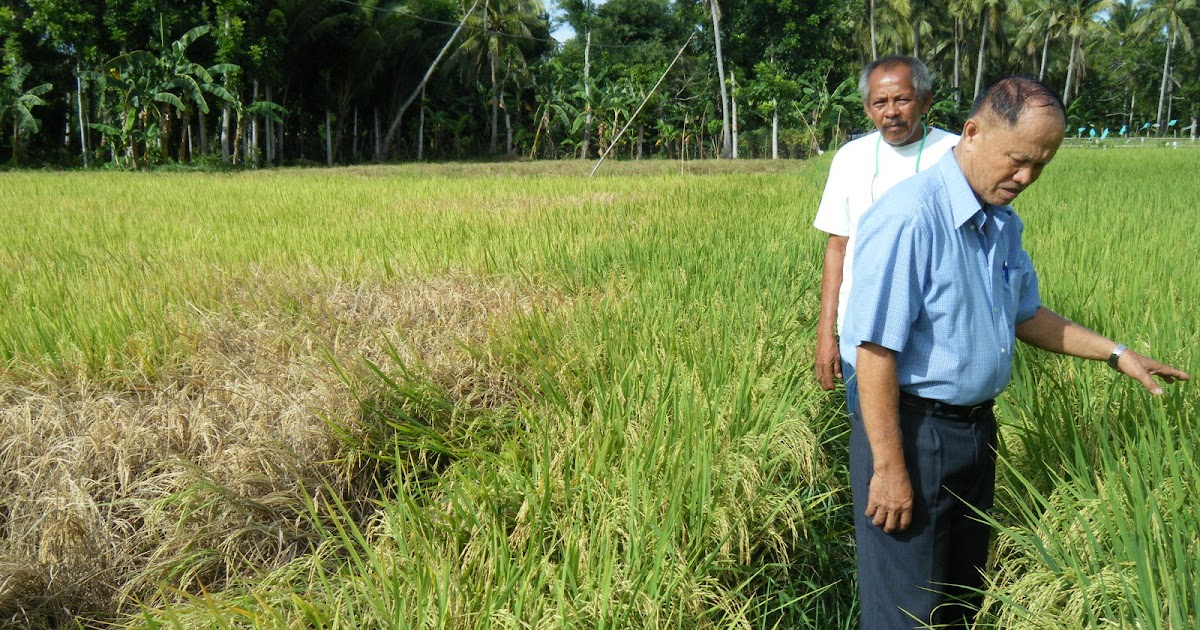 rice farming utilizing powergrow organic foliar Issuu is a digital publishing platform that makes it simple to publish magazines, catalogs, newspapers, books, and more online easily share your publications and get.
