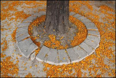 Flores bajo una acacia
