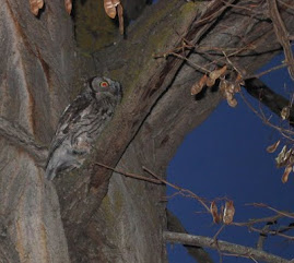 Screech Owls at Horse Creek