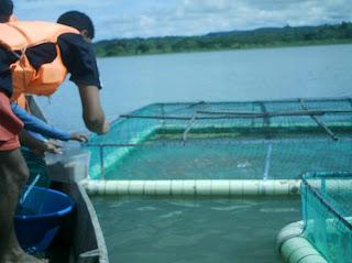 Producci n de tilapia en jaula for Jaulas flotantes para piscicultura