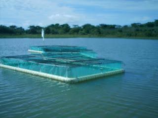 Producci n de tilapia en jaula for Construccion de jaulas flotantes para tilapia