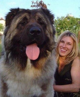 World's Biggest Dog Ever