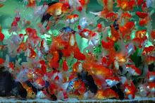 ปลาเงินปลาทอง