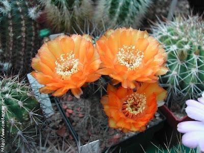 Todo jardines variedades de cactus for Cactus variedades
