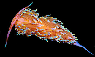 nudibranch central nudibranch species identification what