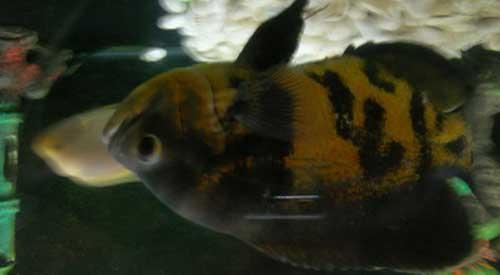 ikan unik bertulis allah