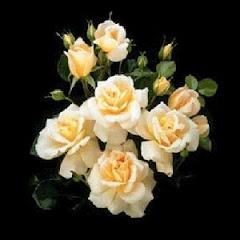 Rosas para minha mãe
