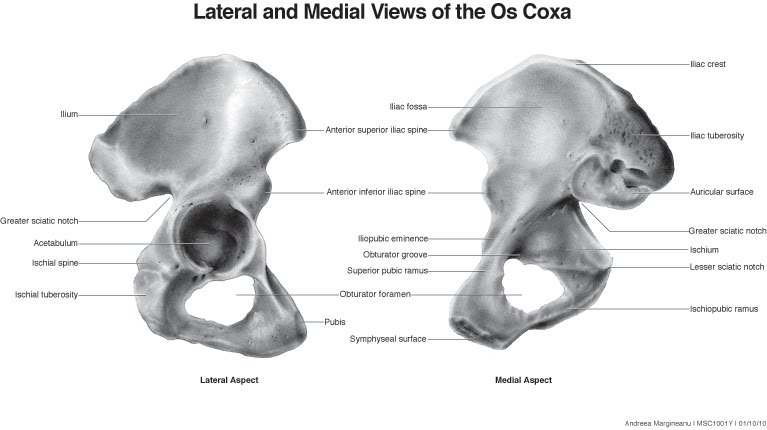 Www Coxa Antomony Laterial View Of The Bones Pictures to Pin on ...